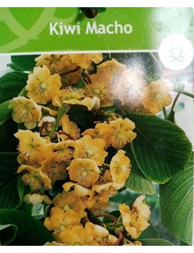 Kiwi Verde Macho