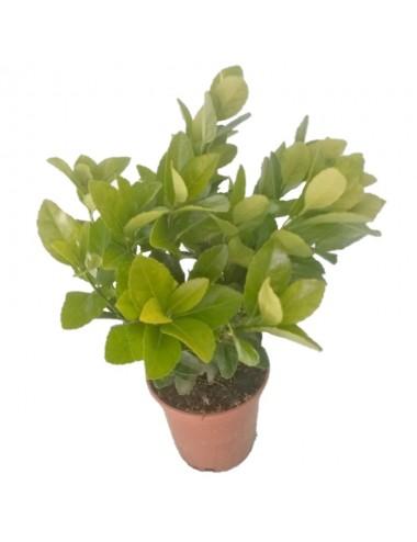 Euonymus Japonicus Verde