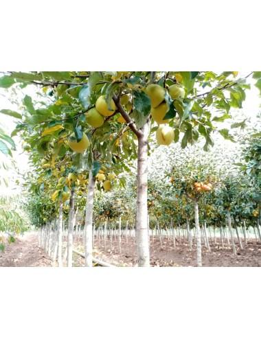 Manzano Peromingan