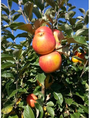 Manzano Reina de Reinetas