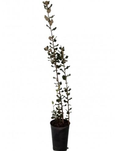 """Encina """" Quercus Ilex Ballota"""""""
