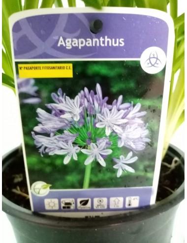 Agapanthus o Lirio Africano