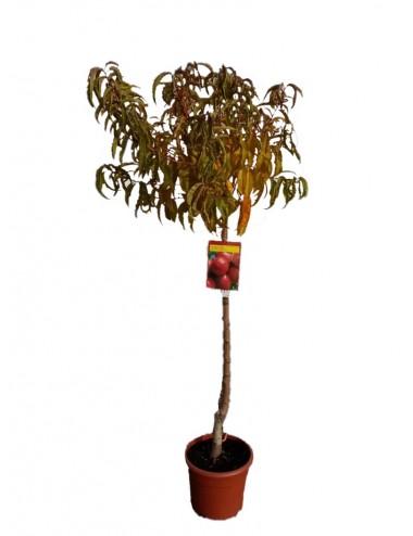 Nectarina Albarres